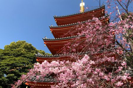 Cherry Blossoms in front of the Tochoji pagoda