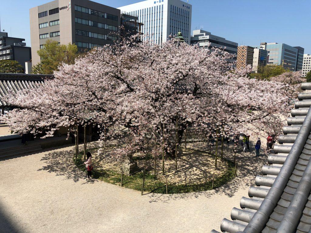 Sakura Cherry Blossoms at Tochoji