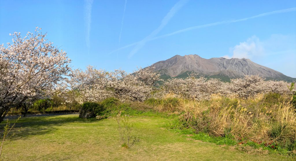 Cherry Blossoms with Sakurajima in the background