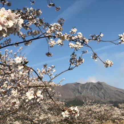 Cherry Blossoms on Sakurajima