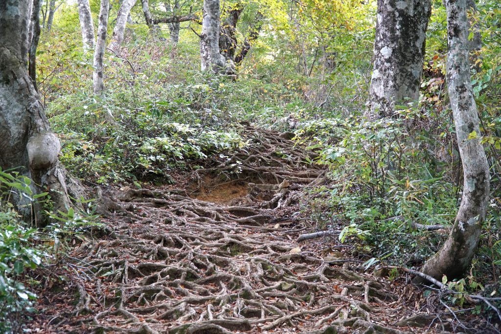 Mt Arashima forrest hiking path roots covering the path
