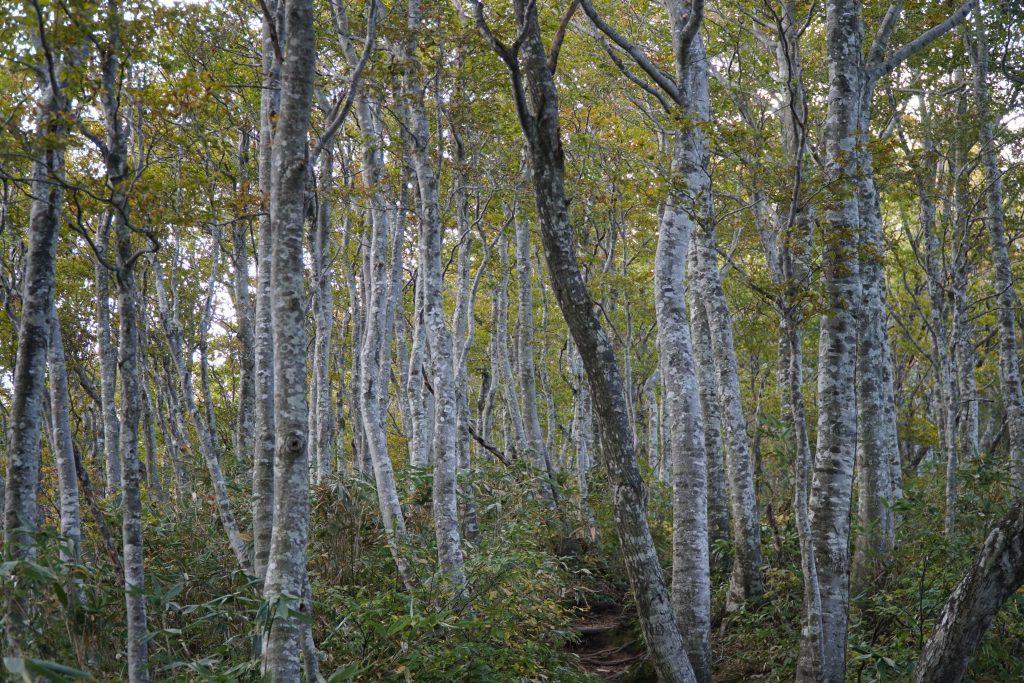 Mt Arashima Hiking - Japanese beech trees