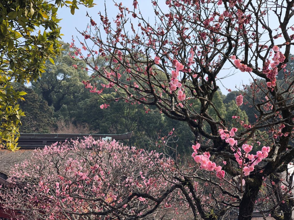 Blossoming Plum Tree at Dazaifu