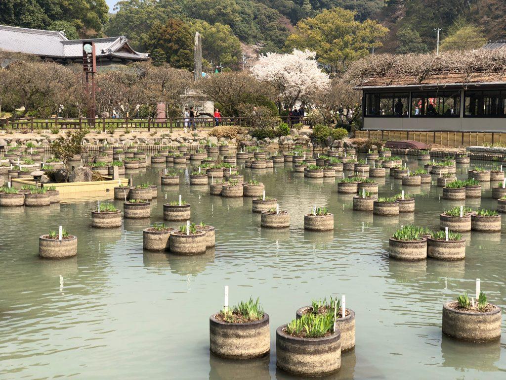 Iris Garden at Dazaifu Tenmangu