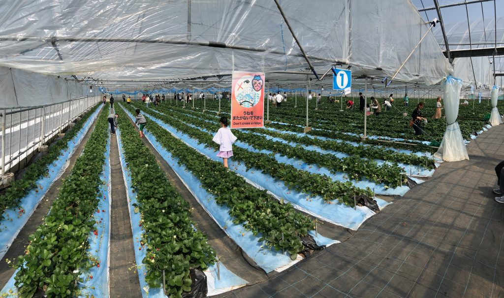 Rows of strawberries inside the greenhouse