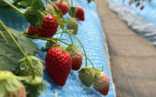 Strawberries Japan