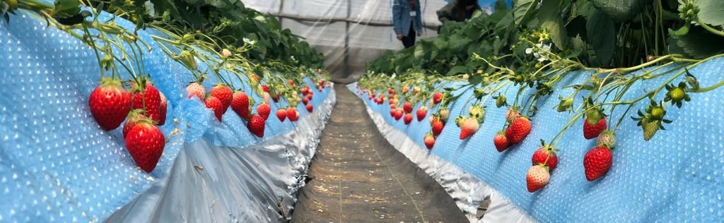 Strawberry rows