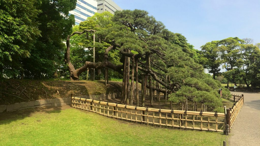 300 Year Pine at Hamarikyu Gardens.