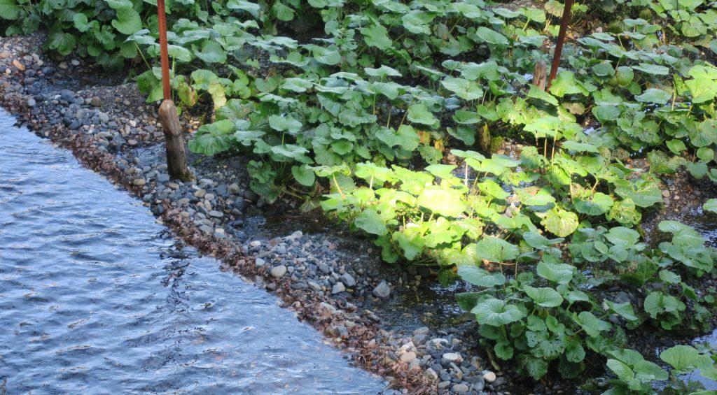 Wasabi Plants