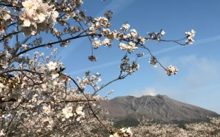 Cherry Blossoms on Sakurajima