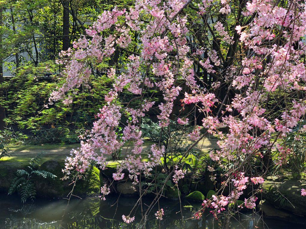 Blossoms at Rakusuien Garden, Fukuoka