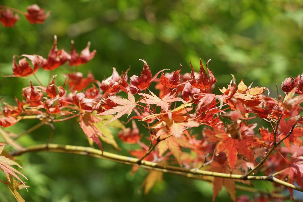 Fall leaves at Gotoku-ji