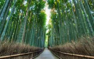 Arashiyama Bamboo Forrest. Credit: Alexander De Leon Battista. Licensed under CC. Original modified.