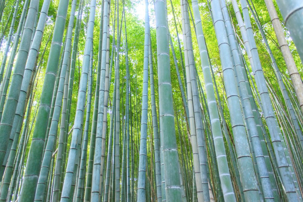 Bamboo stems at Arashiyama Bamboo Forest. Credit: Robert James Hughes. Licensed under CC.