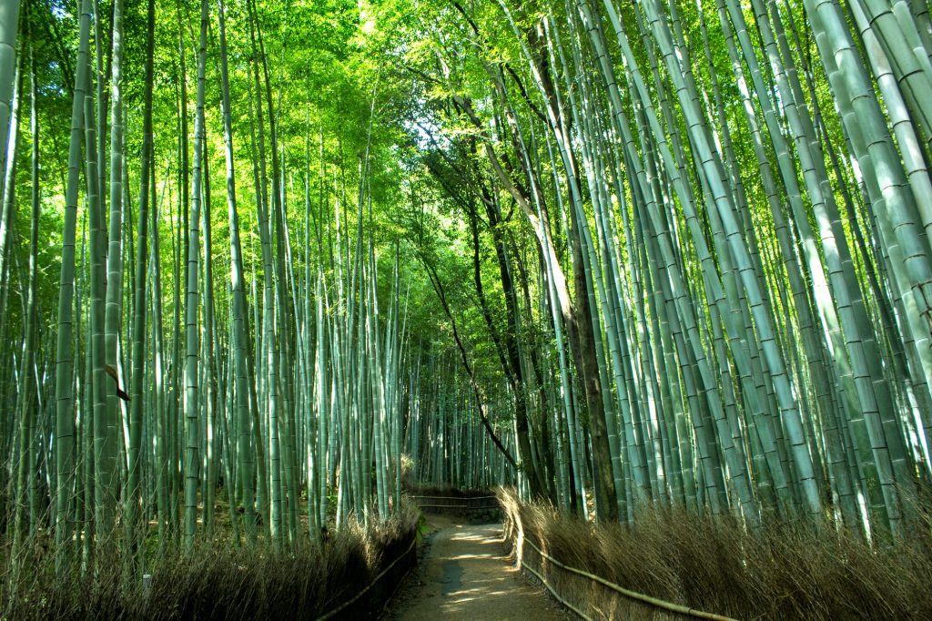 Arashiyama Bamboo Forest. Credit: Antonio Campoy. Licensed under CC. Original modified.