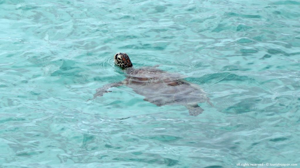 Sea turtle at Kurima Island, Miyakojima. Photo © touristinjapan.com.