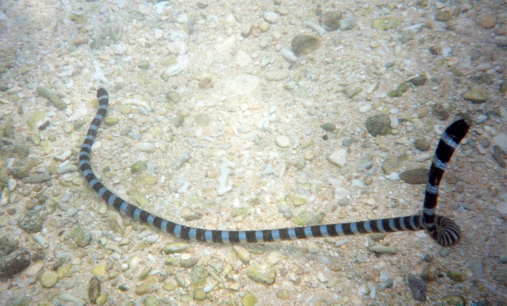 Banded amphibious sea snake. Okinawa Beach safety. Photo kindly provided by 「Okinawa Prefectural Government Institute of Health and Environment」