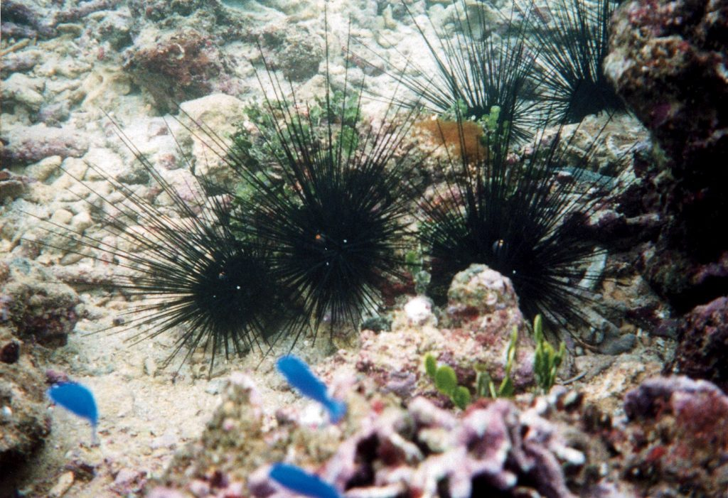 Diadema Urchins. Okinawa Beach safety. Photo kindly provided by 「Okinawa Prefectural Government Institute of Health and Environment」