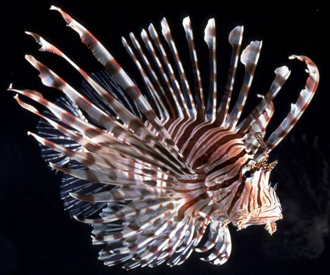 Lionfish. Okinawa Beach safety. Photo kindly provided by 「Okinawa Prefectural Government Institute of Health and Environment」
