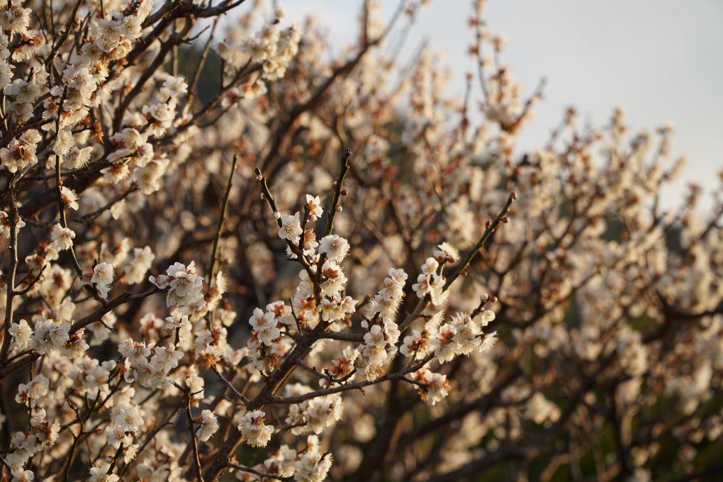Blossoms at Glover Garden, Nagasaki. © touristinjapan.com