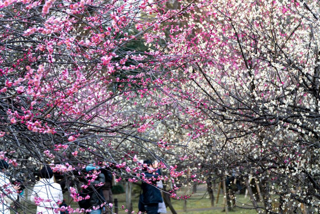 Plum Garden at Shukkeien Garden, Hiroshima. © touristinjapan.com