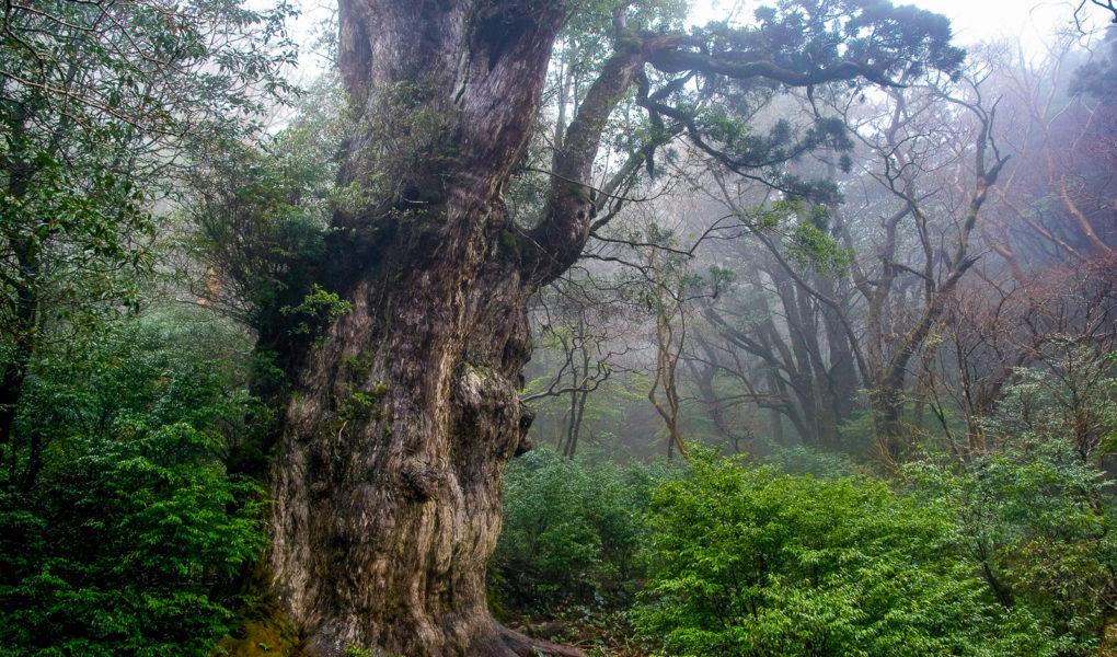 Jomon Sugi Cedar on Yakushima. Photo by Σ64. CC BY 3.0. Photo modified.