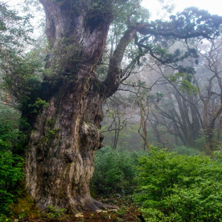 Jomon Sugi Cedar on Yakushima. Photo by Σ64. CC BY 3.0. Photo modified.