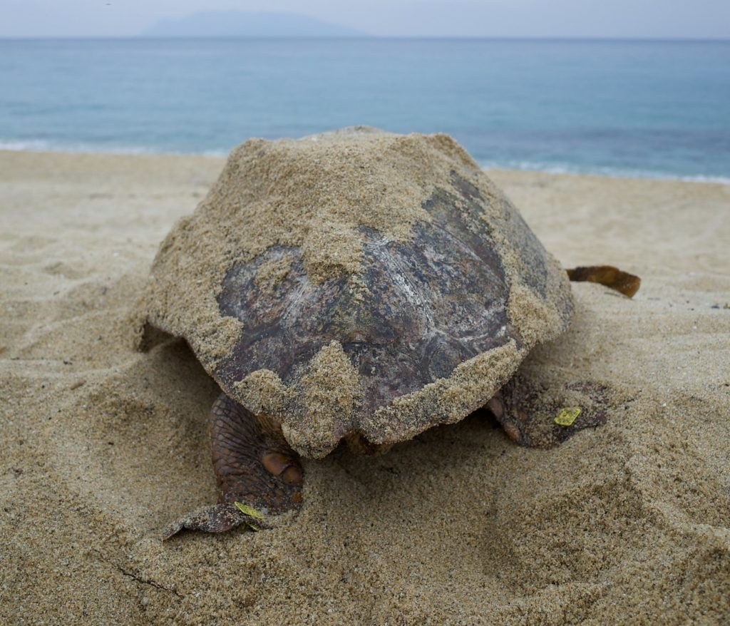 Sea Turtle on the beach in Yakushima. Photo by yuichi hayakawa. CC BY-SA 2.0.